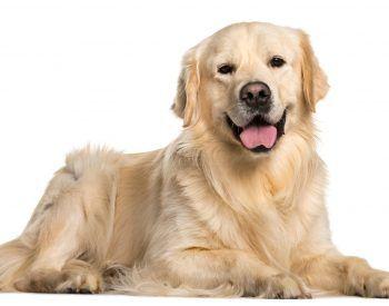 Le Golden Retriever, un chien en or