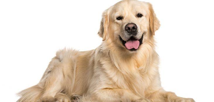 Golden retriever, un chien en or